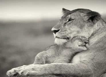 lions-love
